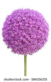 Single Allium Flower