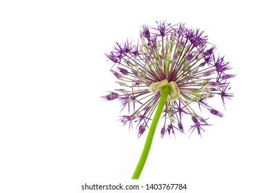 Single allium flower closeup isolated on white background