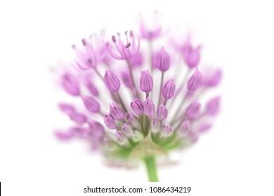 Single allium flower head on white background