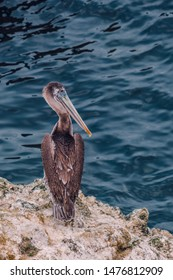 A single American brown Pelican (Pelecanus occidentalis), a North American bird of the pelican family, perched on the seashore cliffs of Point Reyes National Seashore, California, USA.