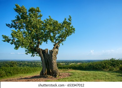 A single ancient oak tree, overlooking panorama, Bradgate Park, United Kingdom.
