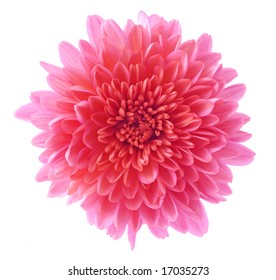 Single aster flower head, isolated on white