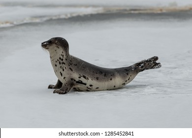 A single Atlantic harp seal, saddleback seal, has its head raised moving along on the cold white pan ice. The young seal is on its fore flippers. The fur is light color with dark spots.