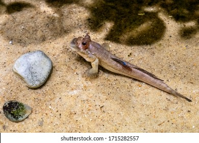 Single Atlantic mudskipper fish - latin Periophthalmus barbarus - natively inhabiting fresh, marine and brackish waters of tropical Atlantic, costs of Africa and Indian ocean in an zoological garden  - Shutterstock ID 1715282557