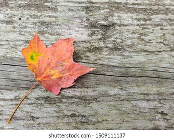 single autumn maple leaf on weathered wood