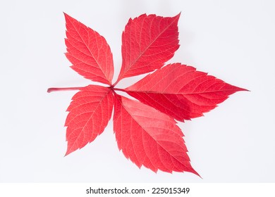 single autumn red leaf of parthenocissus on white background