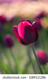 A single backlit purple tulip stands out from a background of other tulips in the late afternoon sun.