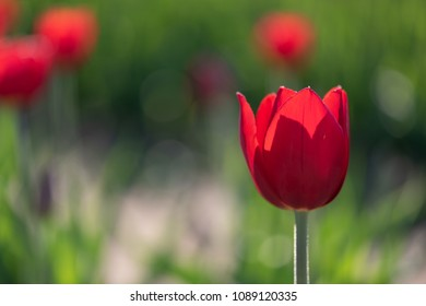 A single backlit red tulip stands out from a background of other tulips. Copy space on left.