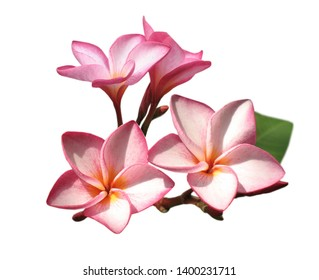 A single banch of fresh pink frangipani flower isolated on white