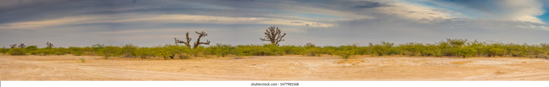 Single baobabs on the African steppe during dry season.  Trees of happiness, Panoramic view. Senegal. Africa.
