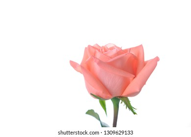 Single beautiful fresh pink rose isolated on white background with copy space - Image