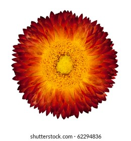 Single Beautiful Helipterum - Everlasting Flower, Immortelle, Rhodanthe, Strawflower Isolated on White Background