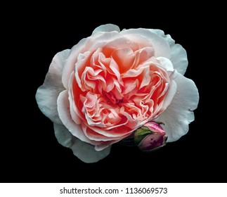 a single beautiful large white rose with a pink center with a rosebud isolated on a black background with raindrops
