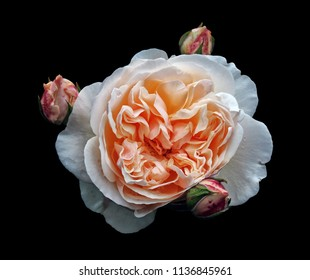 a single beautiful large white rose with an orange center with surrounding rosebuds isolated on a black background with raindrops