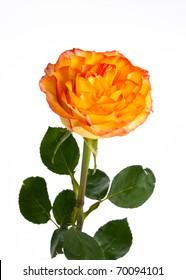 Single beautiful orange rose in bloom on white, isolating background