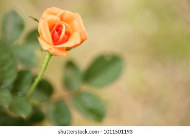 Single Beautiful orange rose with five buds on a blurred green background