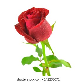 single beautiful red rose on white background