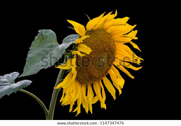 Single beautiful sunflower with leaves isolated on a black background.