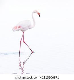 Single beautiful white long legged flamingo bird wading throug water looking for food, high key and white background