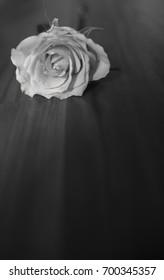 Single beautiful white rose