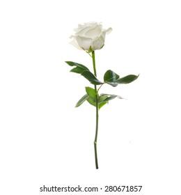 single beautiful white rose isolated  white