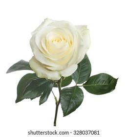single beautiful white rose isolated  background