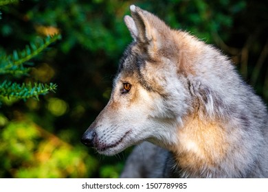 Single beautiful wild wolf outdoors at summer day free