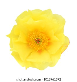 A single beautiful yellow peony flower isolate on white background