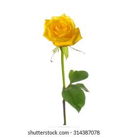 single beautiful  yellow rose isolated  white