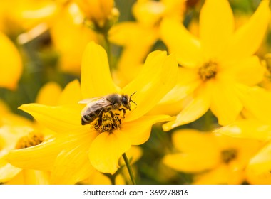 single bee hard working on yellow coreopsis sunflower blossom