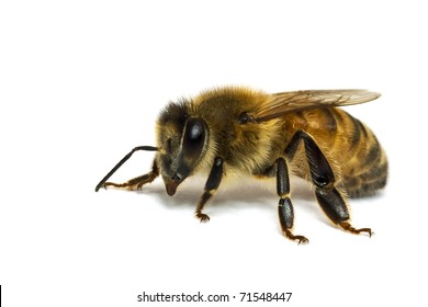 Single Bee isolated on white.  Macro photo with high magnification.