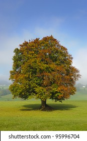 single beech tree in autumn