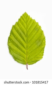 Single beech tree leaf (Fagus) on white background