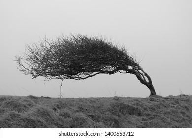 A single bent tree, weathered by strong coastal winds. Monochrome landscape photography in black and white.