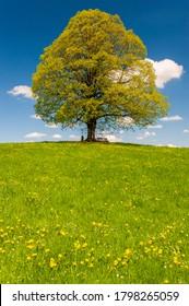 einziger großer Leinenbaum auf der Wiese im Frühjahr