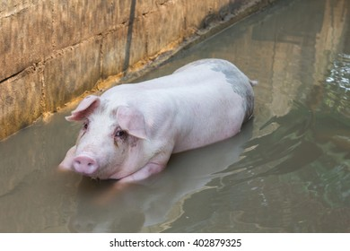 Single big pig playing in water in farm hovel