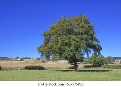 Single big tree in summer meadows