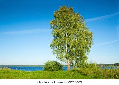 Single birch tree standing on lake waterside on bright summer day