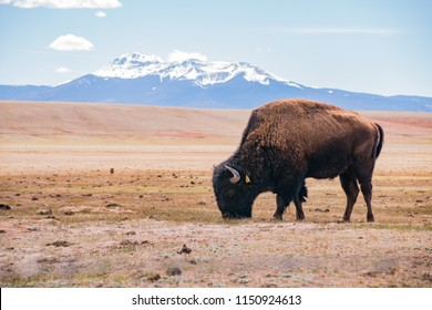 Single Bison eating grass on the field, with snowy mountain as background at Manitou Springs, Colorado