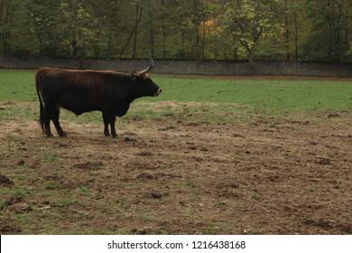 Single black ox bullock stands on field