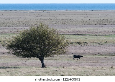 Single black sheep in a wide grassland on the swedish island Oland in the Baltic Sea