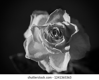 Single black and white faded rose blossom on dark background with spot-light, selective focus, arty.
