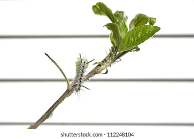 A single black and white hickory tussock caterpillar eating an apple tree leaf with white vinyl siding blurred in the background.