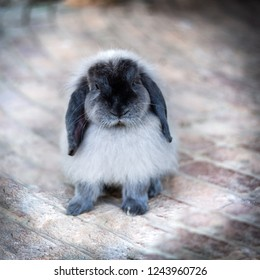 A single black and white rabbit
