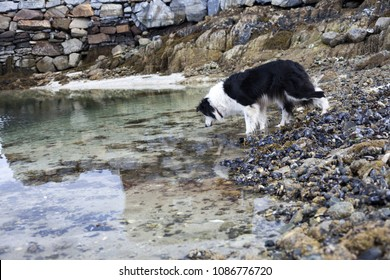 Single black-and-white border collie off duty, hunting for small crabs in water at low tide. Photographed in Helgeland, Norway.