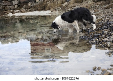 Single black-and-white border collie watching down into water at seaside, hunting small crabs at low tide. Photographed in Helgeland, Norway.