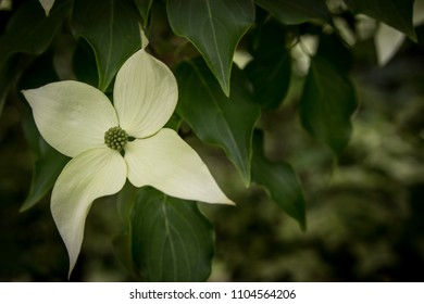 A single bloom of the White Kousa Dogwood tree at a park in Sammamish, Washington.