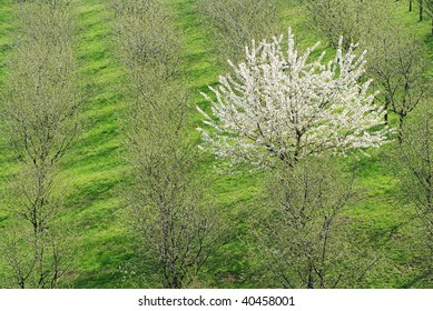 Single blooming white cherry tree among the common green ones in the orchard