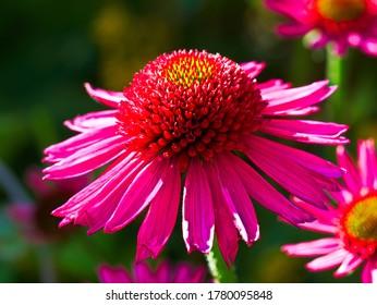 Single blossom of a Echinacea flower