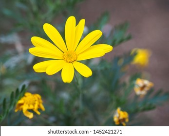 Single blossom of Euryops pectinatus close up. It is a vigorous evergreen shrub in the family Asteraceae, tall and wide, with silvery green, hairy leaves and bright yellow daisy-like composite flowers
